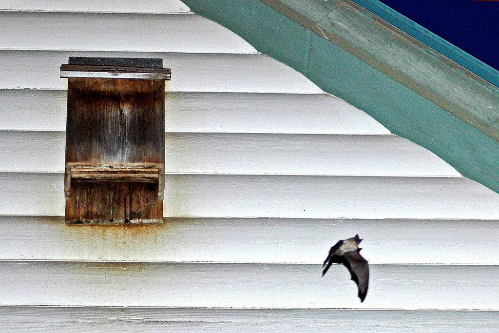 """Bat House"" ~ A bat flying away from a bat house. Llano, TX"