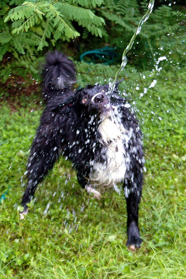 """Biting the Bad Water"" ~ Timber the three-legged border collie attacks water from a water hose."