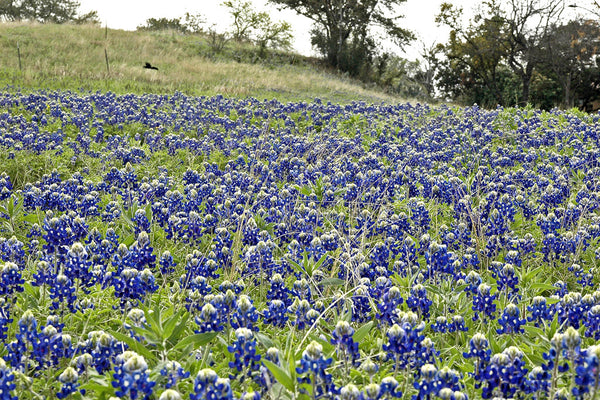 """Bluebonnets #1"" ~ A field of bluebonnets in Austin, TX."