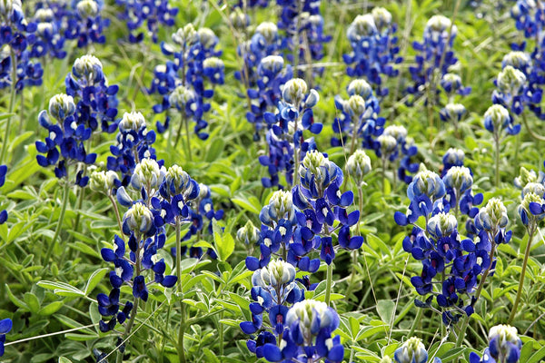 """Bluebonnets #3"" ~ Close-up of a bunch of bluebonnets in Austin, TX."
