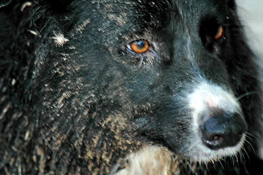 """Bur-ette"" ~ Up close image of Timber, a black border collie dog, after playing in the river."