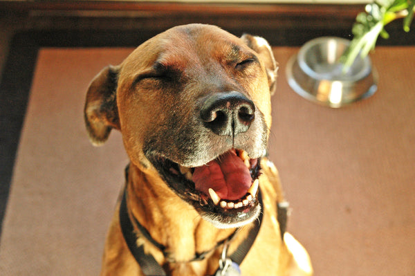 """Buster"" ~ Up-close of a smiling laughing brown dog."