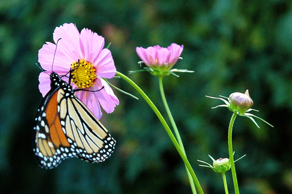 """Butterfly"" ~ Orange and black butterfly on a pink cosmos flower."