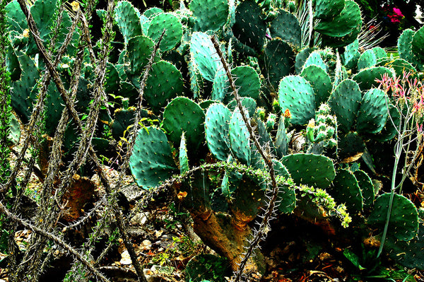 """Cacti"" ~ A jumble of green cactus on the grounds of the Alamo Mission. San Antonio, TX"
