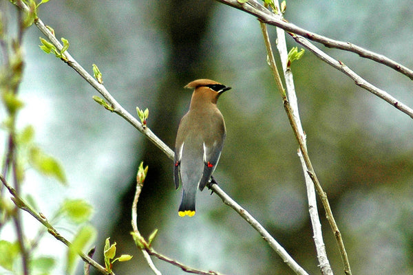 """Cedar Waxwing"" ~ Sleek grey bird with black mask and yellow tip on its tail"