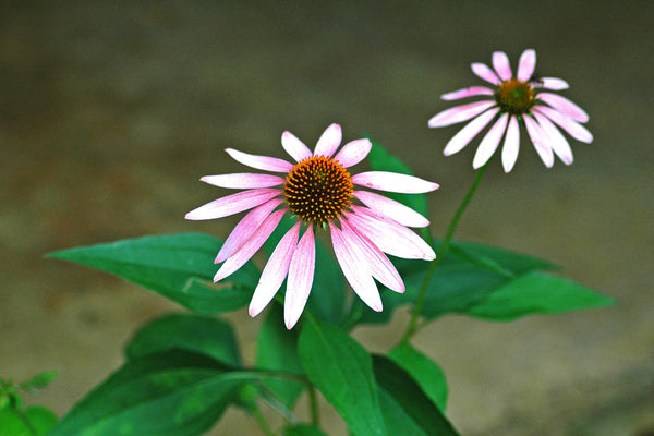 """Coneflower"" ~ Purple conesflowers"