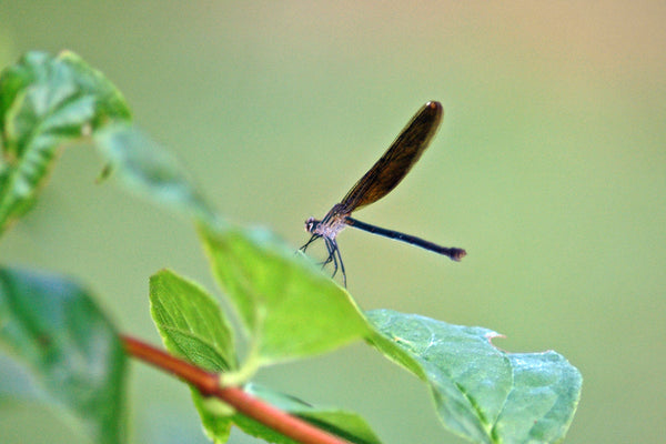 """Damselfly"" ~ A damselfly delicately resting on a leaf. Photo by Ann Woodall"