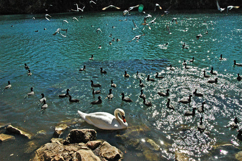 """A Day On the Lake"" ~ A swan and other birds float peacefully on Lady Bird Lake in Austin, TX. Photo by Ann Woodall"
