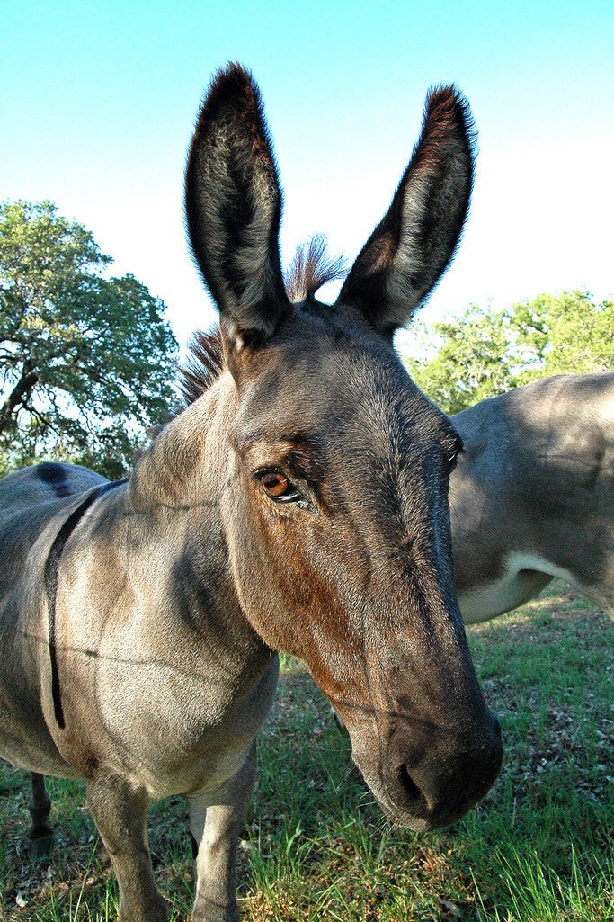 """Donkey"" ~ Close up portrait of a donkey with wonderful huge ears. Photo by Ann Woodall"
