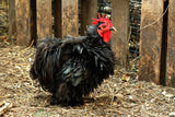 """The Frizzle"" ~ Little black bantam rooster. Photo by Ann Woodall"