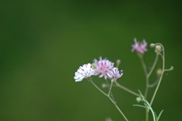 """Green Day"" ~ Close up of white and purple flowers against a green back drop. Photo by Ann Woodall"