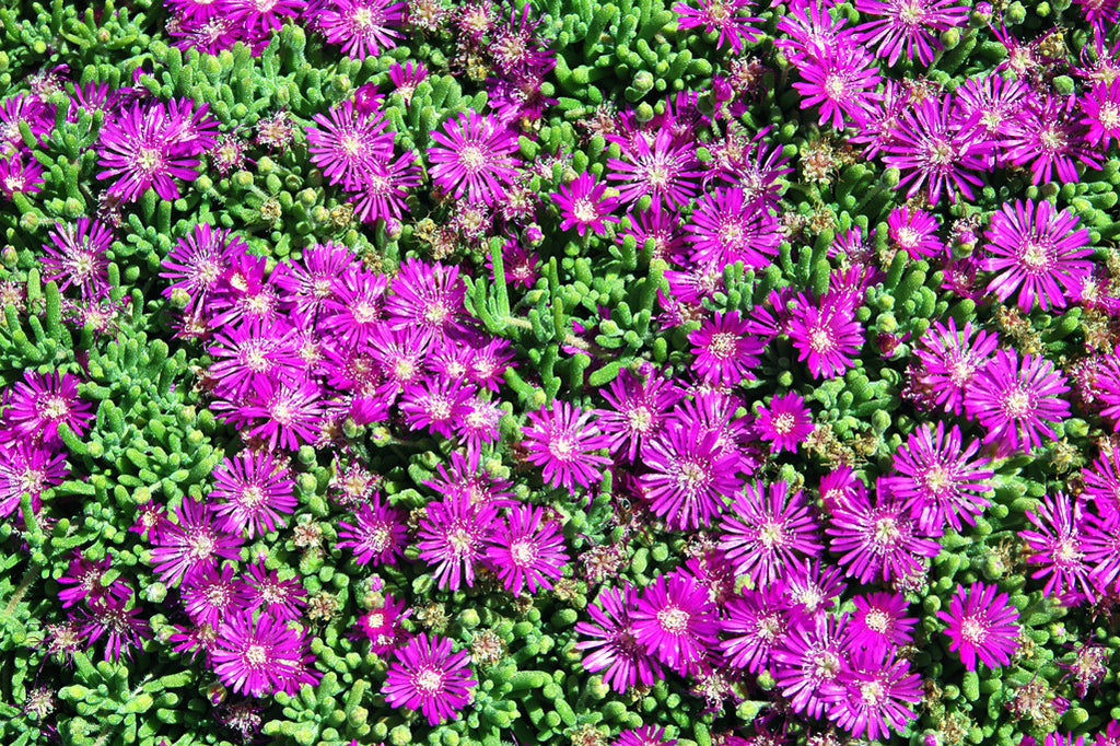 """Ice Plant"" ~ Little purple flowers on a suculent plant. Photo by Ann Woodall"