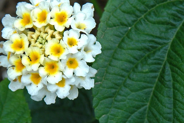 """Lantana"" ~ Close-up of yellow and white lantana flower. Photo by Ann Woodall"