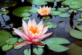 """Lotus Pair"" ~ Two pink lotus blossoms with lily pads. Photo by Ann Woodall"
