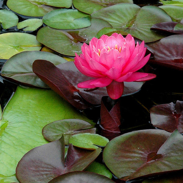 """Magenta"" ~ Dark pink lotus flower. Photo by Ann Woodall"
