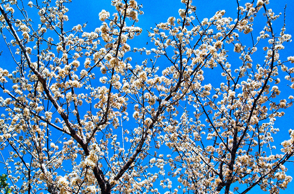 """Mexican Plum"" ~ Mexican plum tree with white blossoms against a bright blue sky. Photo by Ann Woodall"