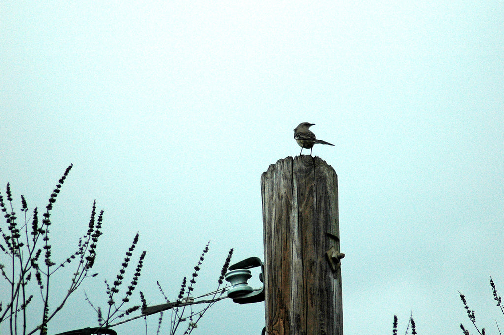 """Mockingbird"" ~ A Mockingbird sits atop a streetlight pole."