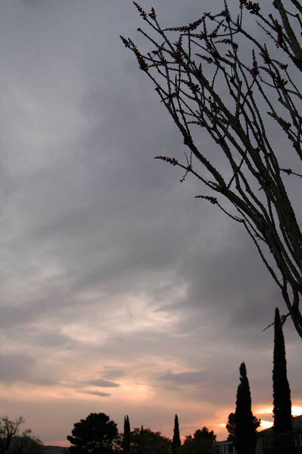 """Ocotillo #6"" ~ Ocotill and cypress trees backed by a sunset in El Paso, TX. Photo by Ann Woodall"