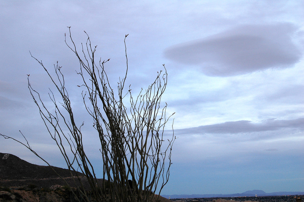 """Ocotillo #7"" ~ Ocotillo in the Franklin Mountains at twilight in El Paso, TX. Photo by Ann Woodall"