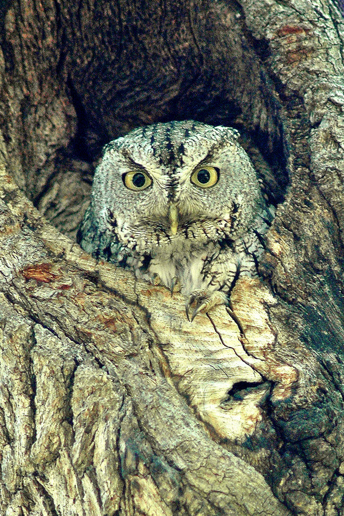 """Owl"" ~ A little screech owl looks out from a hole in an oak tree. Photo by Ann Woodall"