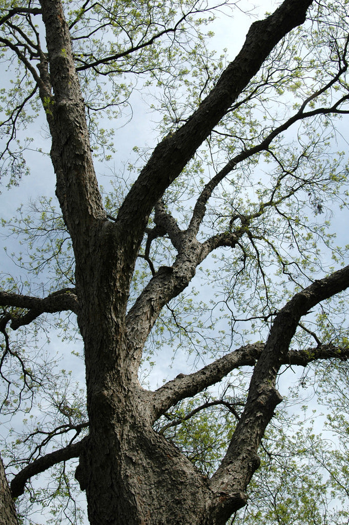 """Pecan #2"" ~ Section of pecan tree in Zilker Park in Austin, TX. Photo by Ann Woodall"