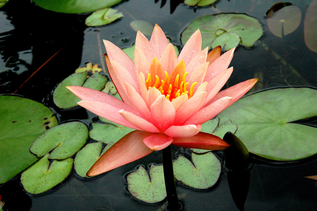 """Pink Lotus"" ~ Pink lotus flower with green lily pads. Photo by Ann Woodall"