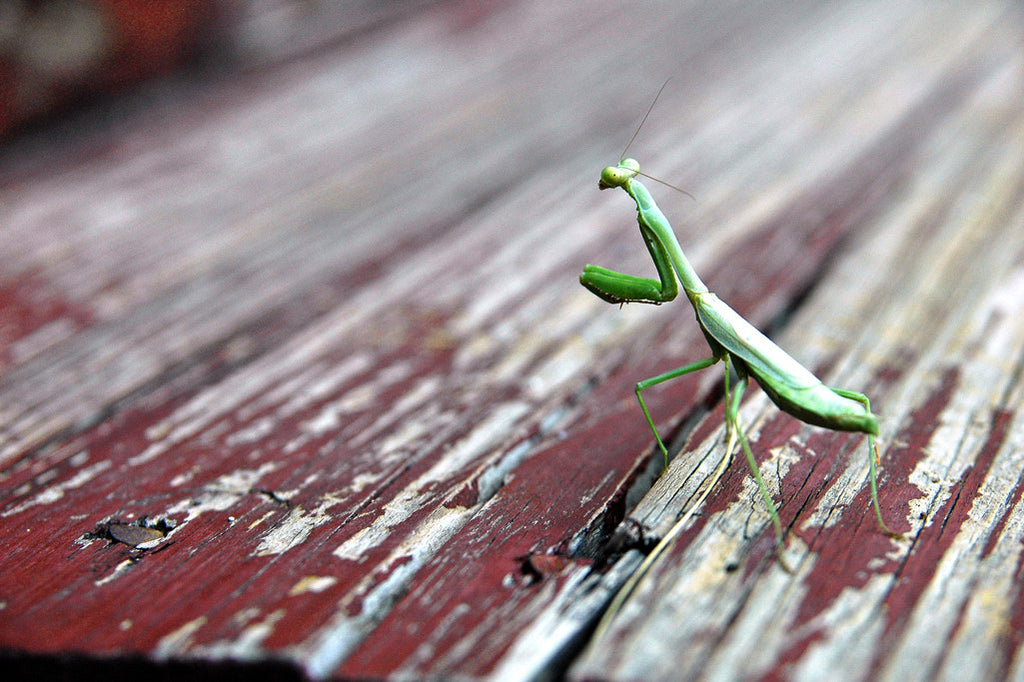 """Praying Mantis"" ~ Green praying mantis walks across red painted wood stairs. Photo by Ann Woodall"