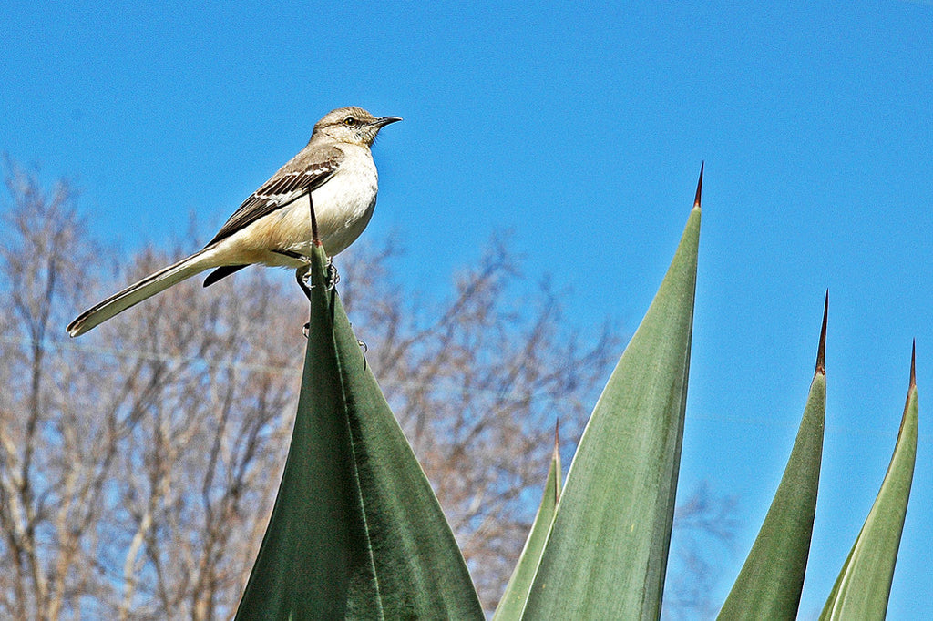 """Prickly Perch"" ~ A mockingbird sits atop an agave plant. Photo by Ann Woodall"