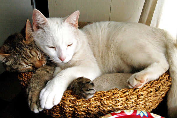 """Purrrfect"" ~ Cats Suki and Ohio sleeping together curled up in a basket. Photo by Ann Woodall"