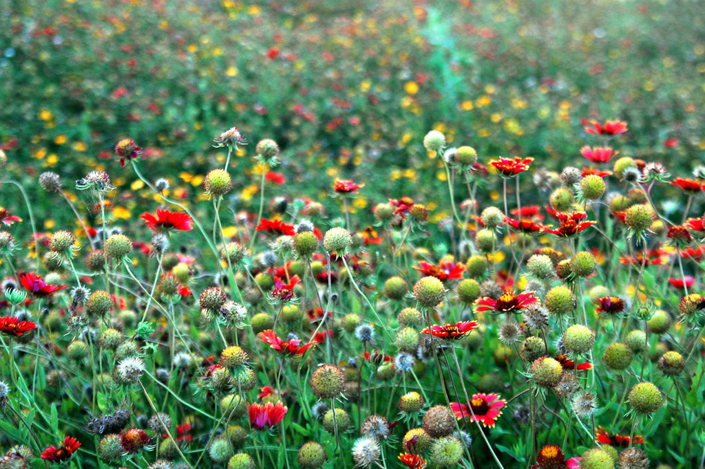 """Red & Gold"" ~ A field of red and gold wildflowers. Photo by Ann Woodall"