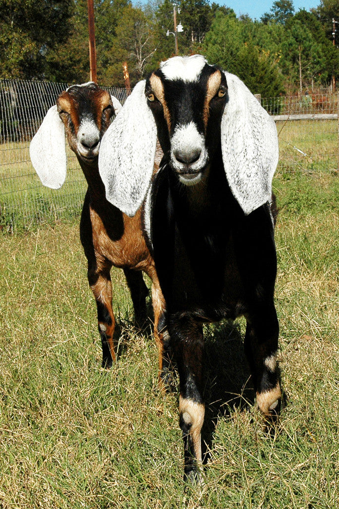 """Sarah & Lillith"" ~ Nubian goats Sarah and Lillith in Paige, TX. Photo by Ann Woodall"