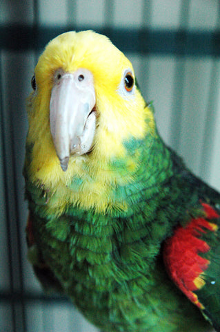 """Scarlett"" ~ Scarlett is a double yellow-headed Amazon parrot. Photo by Ann Woodall"