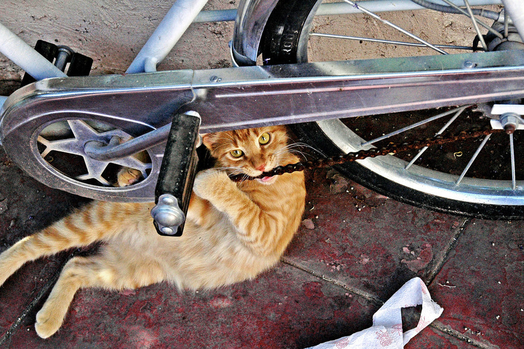 """Tough Guy"" ~ Orange tabby cat biting on a bicycle chain. Photo by Ann Woodall"