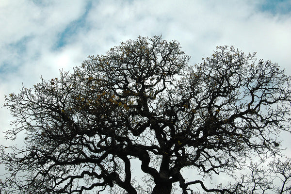 """Tree #28"" ~ Oak tree silhouetted against a blue sky with clouds. Photo by Ann Woodall"