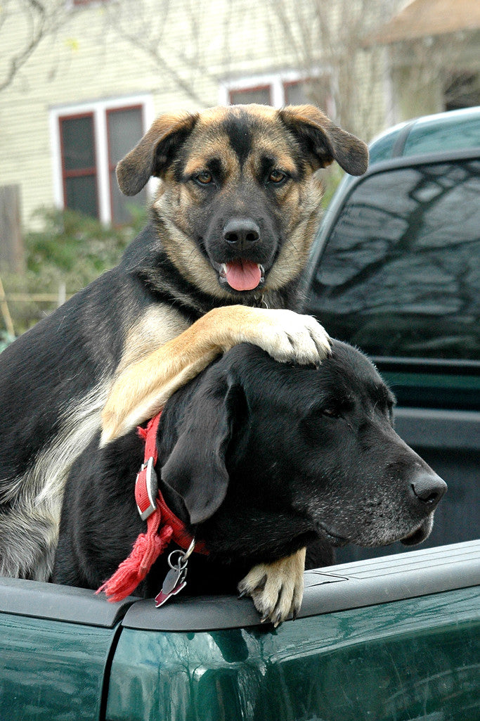 """Truck Dogs"" ~ Two dogs in the back of a truck. Photo by Ann Woodall"