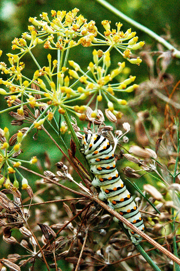 """Very Hungry Caterpillar"" ~ A black and red striped caterpillar chows donw on lunch. Photo by Ann Woodall"