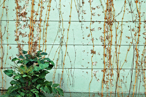 """Wall #15"" ~ A vine covered green wall in Austin, TX. Photo by Ann Woodall"