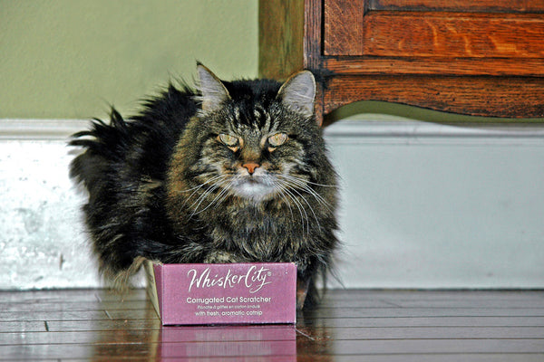 """Whisker City"" ~ Denver the cat sitting happily on his tiny scratching box. Photo by Ann Woodall"