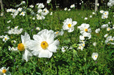 """White Poppies"" ~ Wild white poppies in the Texas hill country. Photo by Ann Woodall"