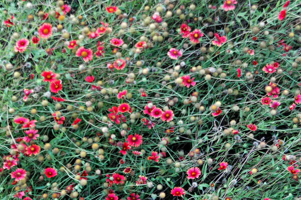 """Windswept"" ~ Red wildflowers blowing in the wind. Photo by Ann Woodall"