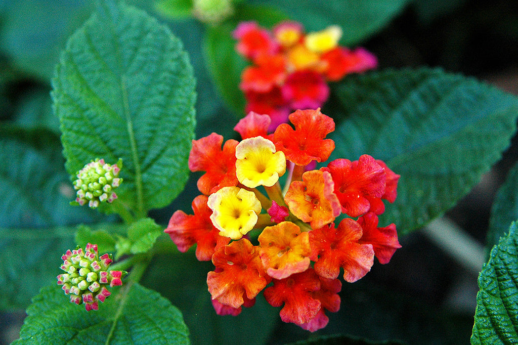"""Red & Pink Lantana"" ~ Vivid red, pink and yellow lantana flowers. Photo by Ann Woodall"