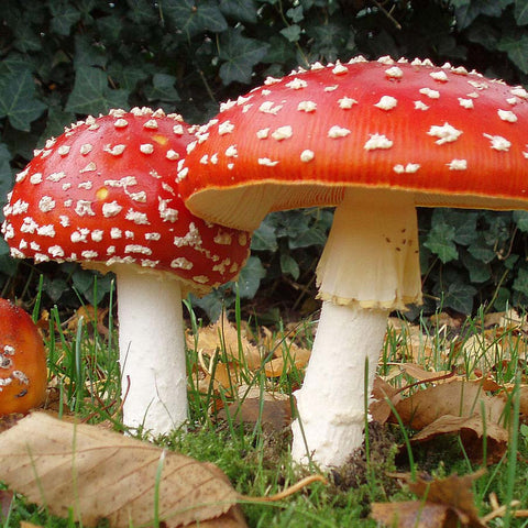 Fly Agaric Mushrooms (Amanita muscaria) /1g