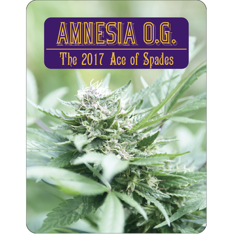 7 Aces Seeds - Amnesia OG - 15-Pack Regular / Photoperiod (Not Feminized)