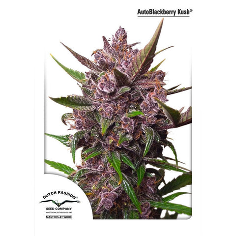 Dutch Passion - AutoBlackberry Kush (Autoflowering) - 7-Pack Feminized