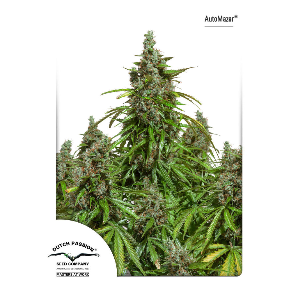 Dutch Passion - AutoMazar (Autoflowering) - 7-Pack Feminized