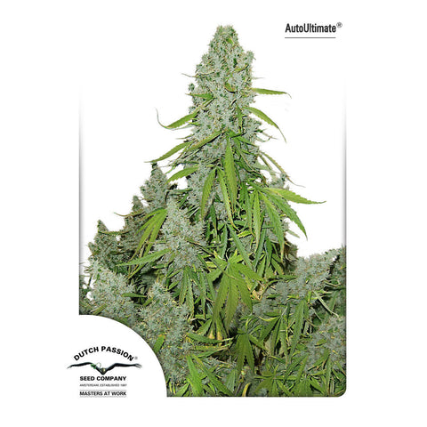 Dutch Passion - AutoUltimate (Autoflowering) - 7-Pack Feminized