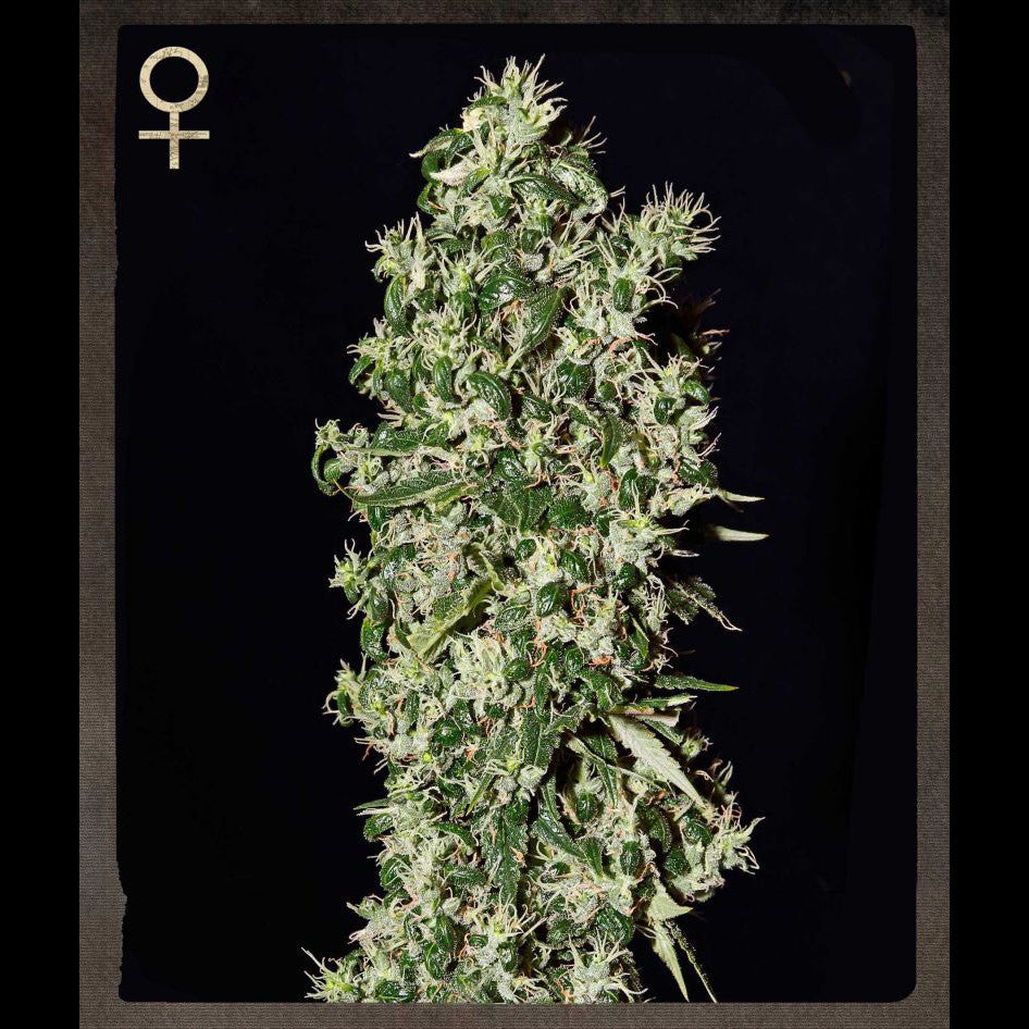 Greenhouse Seeds - Big Tooth - 5-Pack Feminized