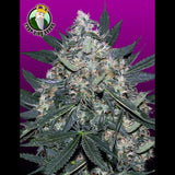 Crop King Seeds - Black Indica - 5-Pack Feminized