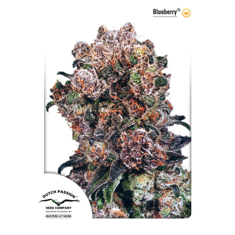Dutch Passion - Blueberry - 5-Pack Feminized
