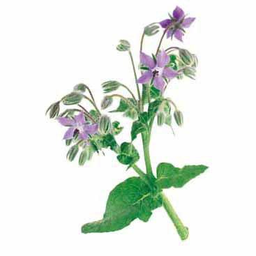 Borage Seed Pack (Borago officinalis)
